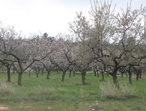 Campo de almendros por podar. Caudiel (Castellón). Fuente: elaboración propia (AIDIMA)
