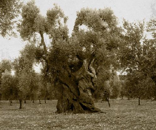 El olivo, árbol de muy apreciada madera para el sector