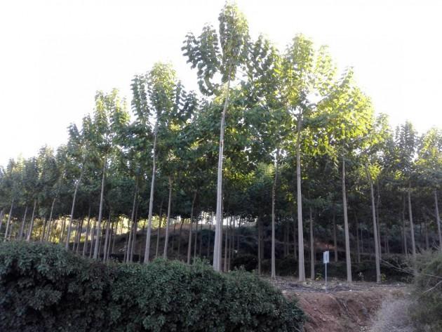 Plantación de pawlonia en Navarrés