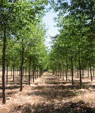 Plantación de una variedad de cerezo (Prunus avium) para madera