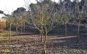 Plantación de nogal en Vallada.