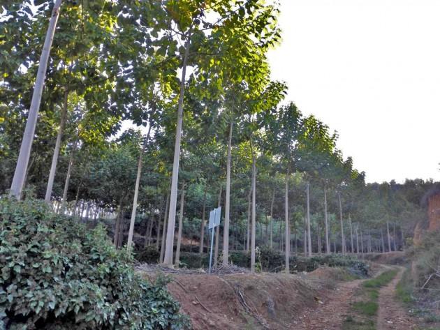 Plantación de paulownia en Navarrés estudiada para el proyecto. Tiene una extensión aproximada de 4-5 hectáreas, y los árboles tienen una edad media de 6-7 años.