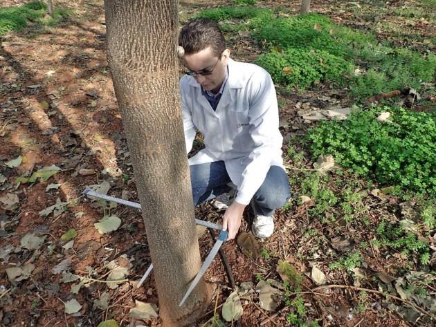 Medición mediante forcípula del diámetro de una paulownia en una plantación situada en Picaña. El ejemplar tiene 3 años.