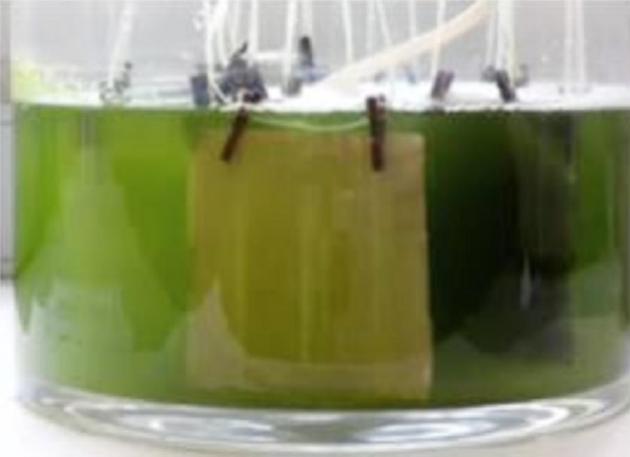© AIDIMME - Ensayo de simulación de medio marino para la determinación de las propiedades antifouling de las muestras tratadas.