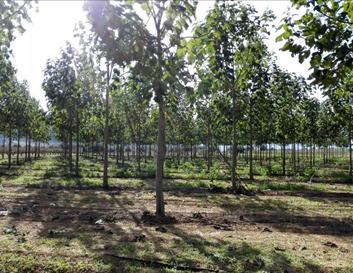 Plantación de paulownia estudiada en el proyecto (Turís).