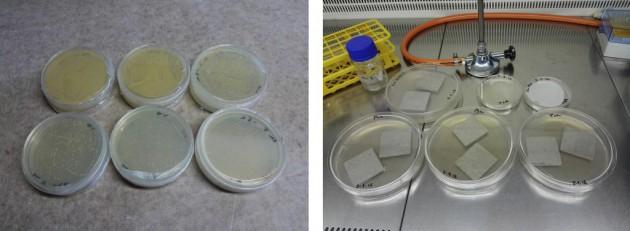 Determinación del número de colonias bacterianas (arriba) para la inoculación de las probetas de ensayo (abajo). AIDIMME