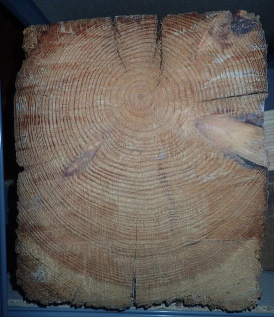 Imagen 2. Testa de una viga de carga de 300 años de antigüedad procedente de un palacio perteneciente al patrimonio histórico valenciano. La viga está compuesta casi completamente por madera de duramen, que se distingue de la albura por su color más oscuro (marrón).
